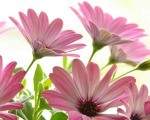 pink-daisies-1280-1024-4626